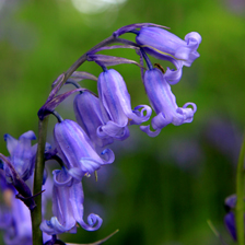 Pembrokeshire bluebell